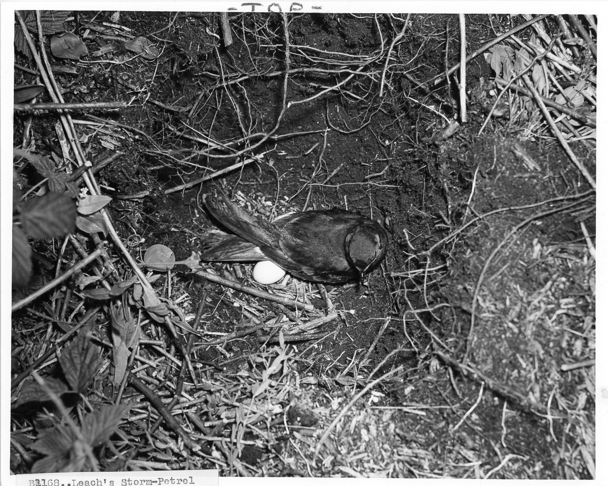 Leach's Storm-Petrel Bird with Egg in Burrow