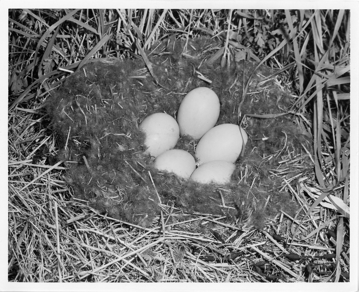Nests and Eggs of the Common Eider on Little Duck Island