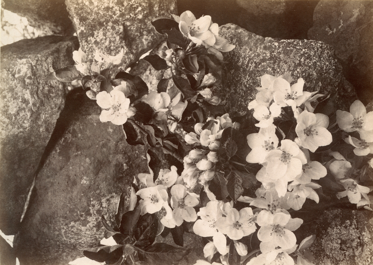 Apple Blossoms in Gloucester