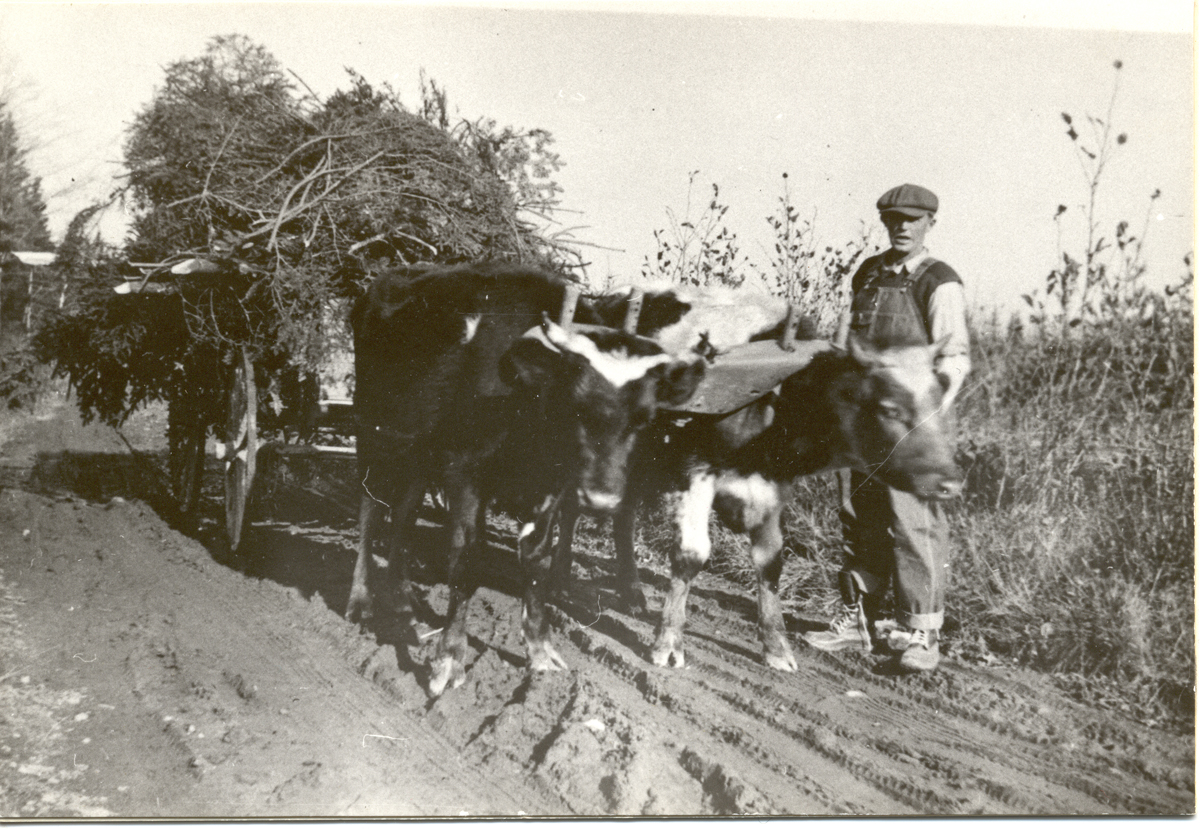 Henry W. Sawyer Working a Yoke of Oxen on Ann's Point