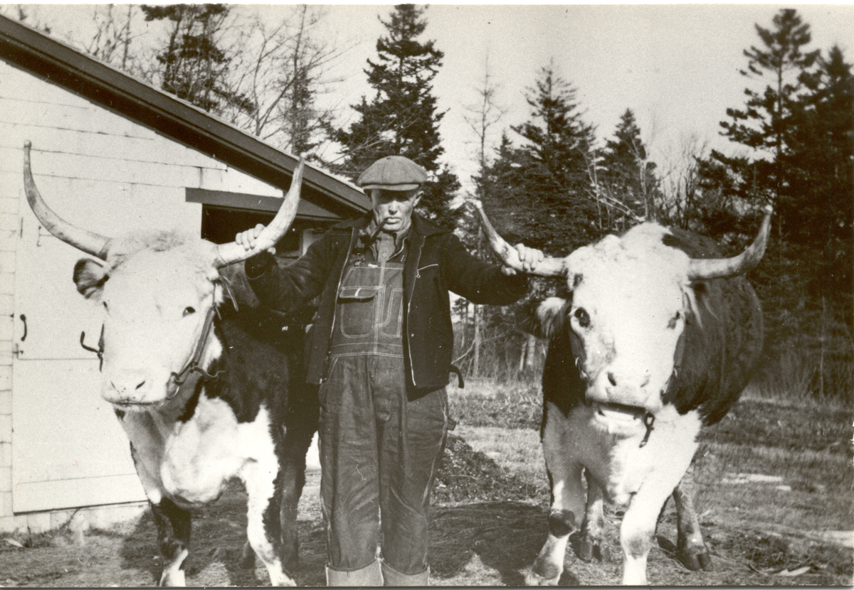 """Henry W. Sawyer with Oxen """"Crook"""" and """"Straight"""""""