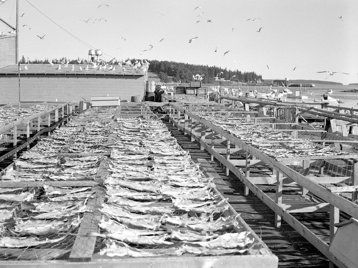 Fish Flakes at Higgins Wharf in Bernard - Cod Drying in the Open Air