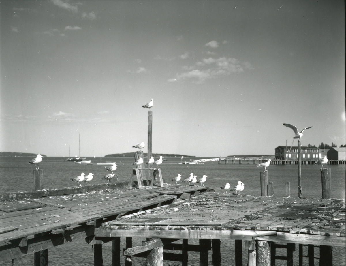 Wharf with Gulls, Manset Shore