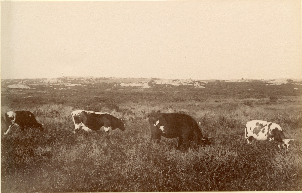 Four Cows at the Downs at Eastern Point