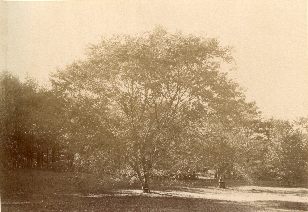 Elm at Winchester