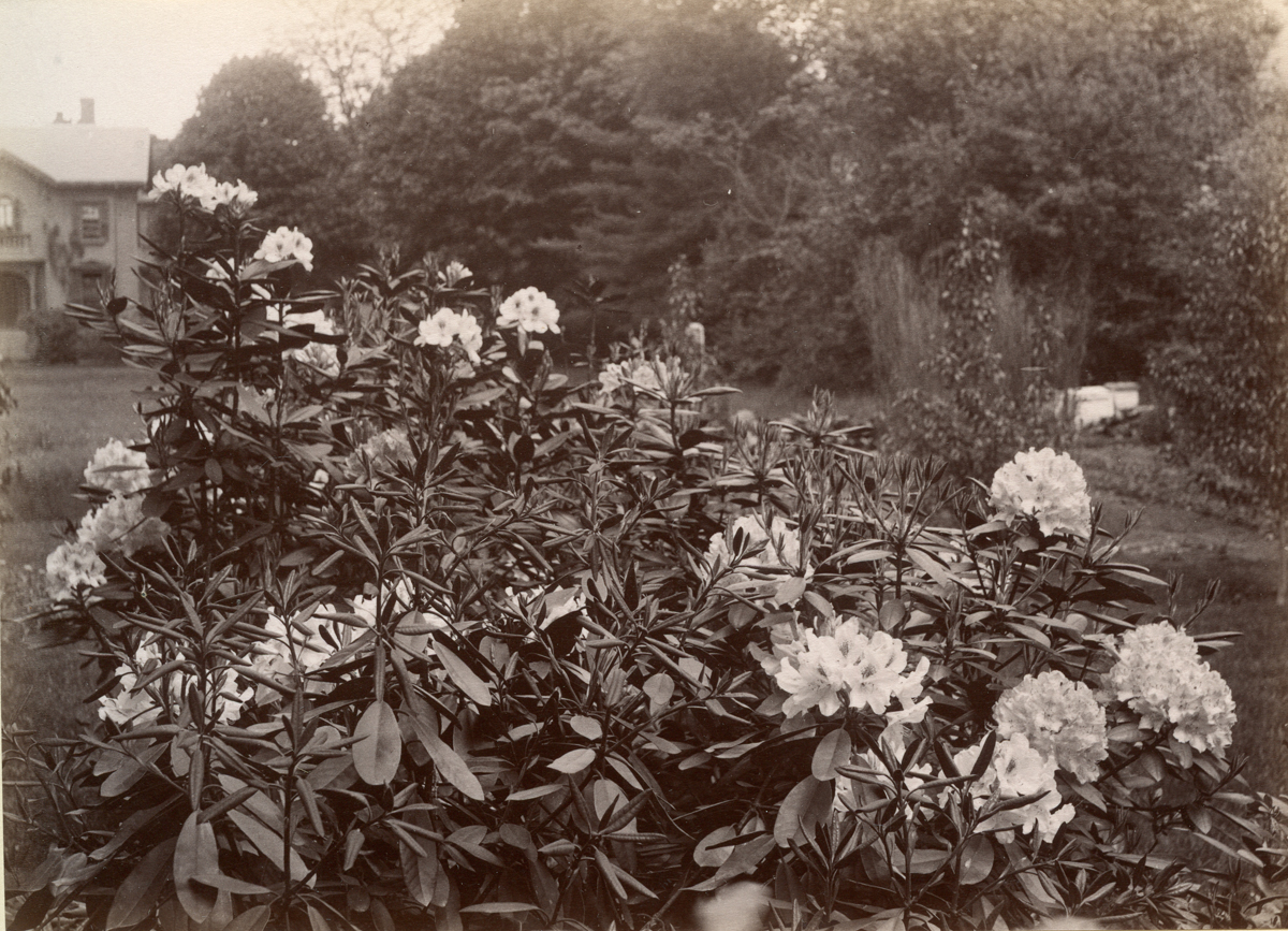 """Rhododendrons at Jane Augusta """"Jennie"""" (Lathrop) Rand's House"""