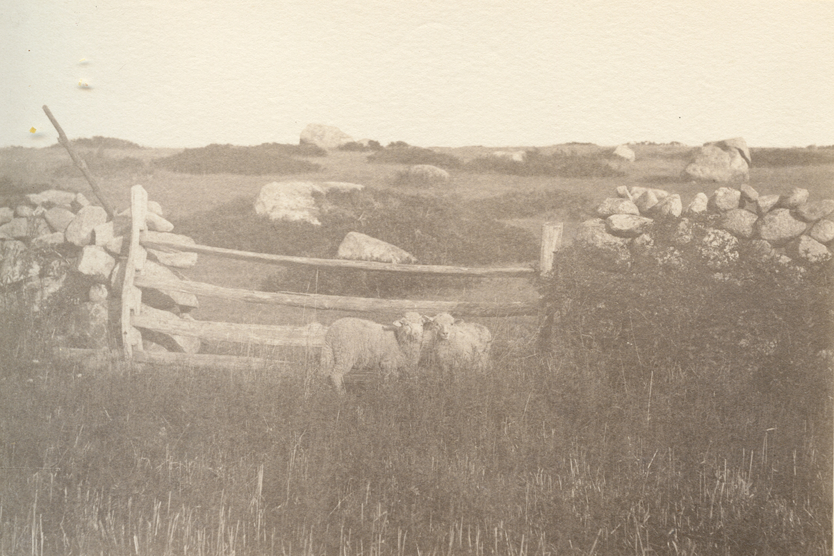In the Pasture of the Nathaniel Southgate Shaler Summer Home